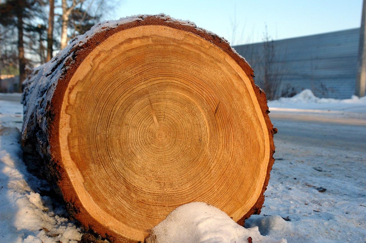 Анатомическое строение древесины