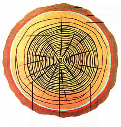 Анатомическое строение древесины хвойных пород